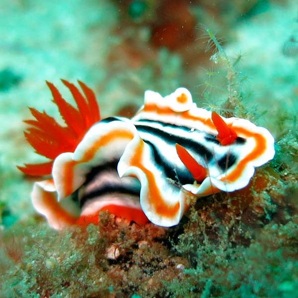 nudibranch cromodoris ibiza