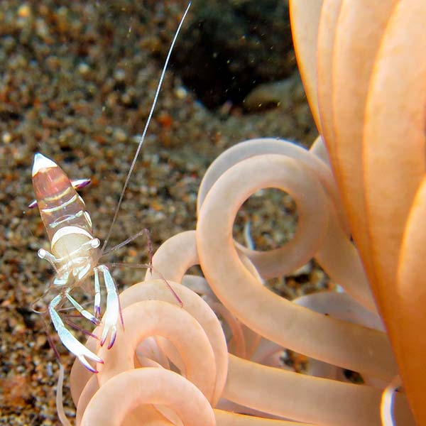 shrimp in anemone ibiza
